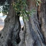 Terra di ulivi secolari